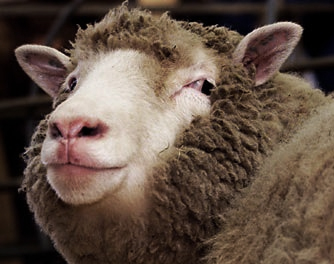 dolly het schaap / shop-the-look